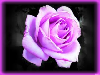 роза, фотошоп, виньетка