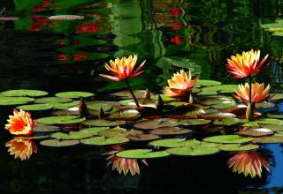 rostliny, rybník, džungle, colorado, lilie