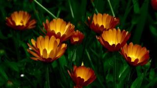 měsíček lékařský, květiny, žlutá