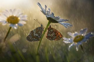 macro, butterfly, flowers, insects, nature, the rain, chamomile, bokeh, Roberto Aldrovandi