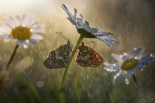 макро, метелики, квіти, комахи, природа, дощ, ромашки, боке, Roberto Aldrovandi