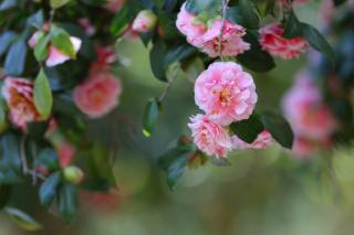nature, summer, branches, leaves, flowers, Camellia
