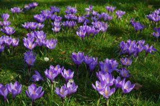 Crocus, flower, grass
