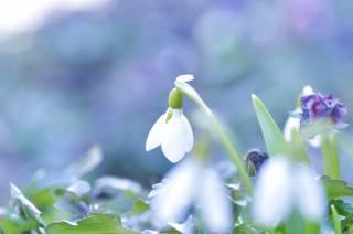 nature, spring, flowers, primroses, snowdrop, macro, bokeh