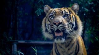 тигр, удивлен, особа, відкритий рот, креатив