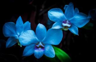Orchid, orchids, flowers, flower, flora, black, background