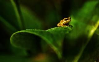 zelená, žába, makro