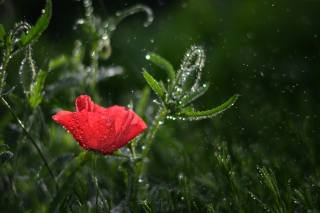 flower, grass, water, drops, macro, nature, Mac, bokeh