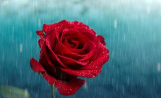 rose, the rain, drops