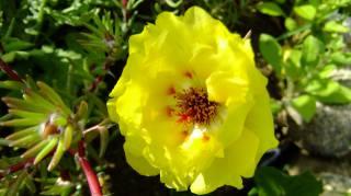 Портулак, garden, yellow