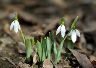 snowdrop, Bud, spring