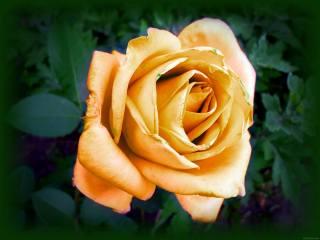 night, light, rose