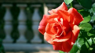 red rose, petals, the sun