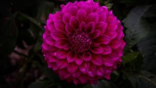 květina, zahrada, георгин