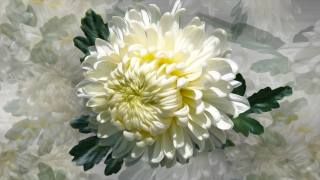 Квяти, chrysanthemum, graphics