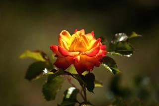 květina, růže, makro