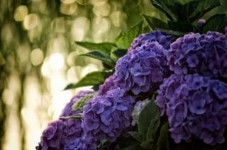 květiny, květenství, hortenzie, listy, boke