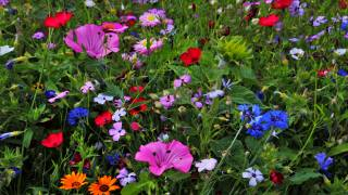 квіти, польові квіти