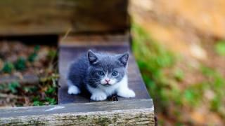 Тварина, кошеня, малюк, манчкин, деревинки