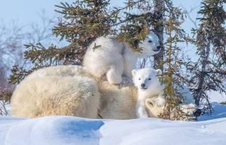 тварини, хижаки, ведмеді, Білі ведмеді, полярные медведи, Ведмедиця, ведмежата, дитинчата, три медведя, природа, зима, сніг