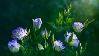 эустома, květiny