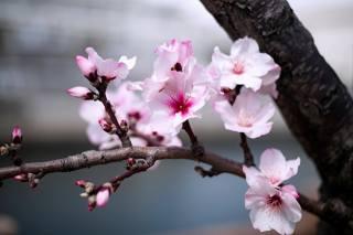 příroda, jaro, kvetoucí, strom, větvička, květiny, mandle