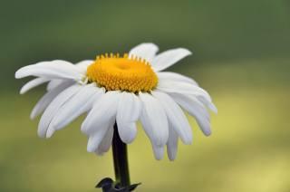 біла ромашка, розмитий фон, фотограф Mercedes Salvador