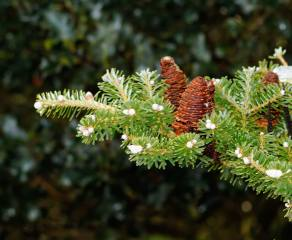 nature, branch, needles, spruce, cones