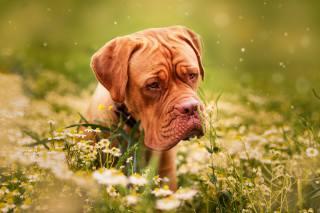 pes, Zvíře, květiny, příroda, pes, heřmánek, německá doga, tráva, bordeauxská doga