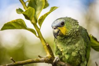 pták, Papoušek, větvička, listy