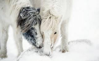 природа, сніг, поні