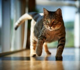 кішка, кімната, підлога, кіт