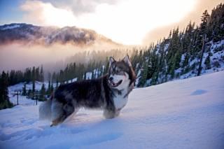 хмари, ліс, хаскі, пес, природа, туман, зима, гори, сніг, Тварина, собака