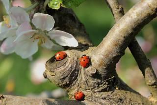 jaro, strom, větvičky, kvetoucí, květiny, berušky