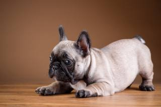 Тварина, пес, собака, Французький бульдог