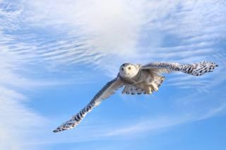 біла сова, полярна сова, птиця