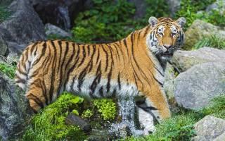 sibiřský tygr, dravec, potok, kameny