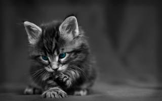 kitten, blue eyes