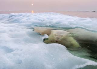 foto, bílý medvěd, medvěd, dravec, pod vodou, led, krásně, super foto