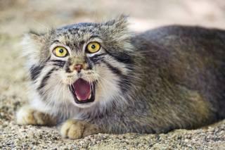 kočka, manul, ctambako the jaguar