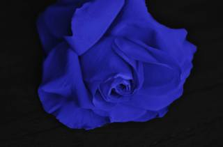 Purple, rose, black, background