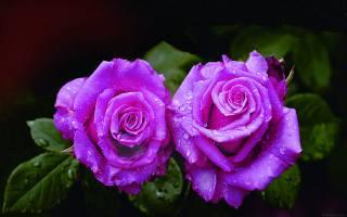 drops, flowers, rose, night