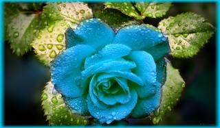 růže, kapky, Neon