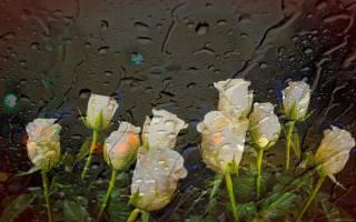 růže, kapky, sklo