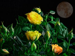 night, rose, ремейк