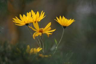 žlutá, květiny