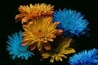 chryzantémy, noc, barva