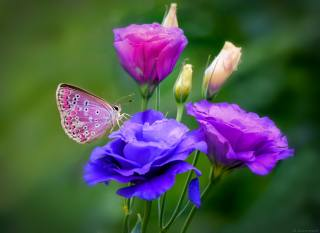 butterfly, flowers, July