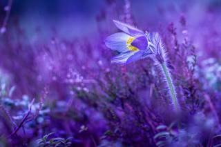 primrose, sleep-grass, Purple