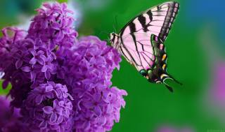 lilac, butterfly, May
